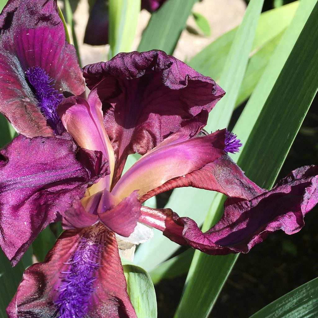 Dwarf bearded Iris flower
